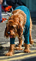 Dog in Fancy Dress - 'Jack in the Green' May Day Celebrations, Hastings, May 2014 (17172743490).jpg