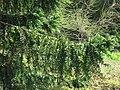 Domaine du Rayol - Araucaria bidwilii foliage 2.jpg