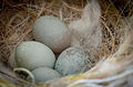 Domesticated serinus - nest and eggs.jpg