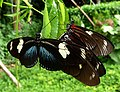 Doris Longwing (Heliconius doris red) - Laparus doris. . Blue colour form in front.. - Flickr - gailhampshire (1).jpg