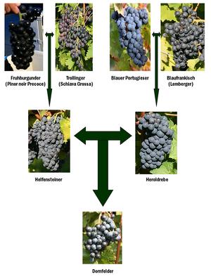 Dornfelder - The family tree of Dornfelder showing its parent and grandparent varieties.