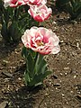 Double-Petalled Tulip - Cylburn Arboretum 2 (turned 90º).jpg