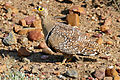 Double-banded Sandgrouse (Pterocles bicinctus) male (16714862695).jpg