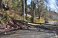 Downed tree near Golden Gardens 2014-11-29 02.jpg