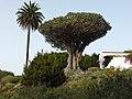 Drago milenario de Icod, Dracaena draco, Tenerife, Canarias, España.jpg