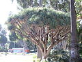 Dragon Tree in the Will Rogers Memorial Park in Beverly Hills, California.JPG