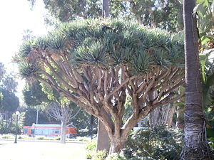 Dracaena draco - Dragon tree in the Will Rogers Memorial Park in Beverly Hills, California