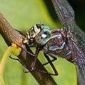 Dragronfly eats small bug 2 (7974361770).jpg
