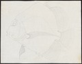 Drepane punctata - 1700-1880 - Print - Iconographia Zoologica - Special Collections University of Amsterdam - UBA01 IZ13100299.tif