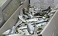 Dried sardinellas.jpg