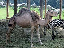 Camelus Dromedarius Wikipedia