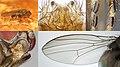 Drosophila (Sophophora) subobscura (male) collage.jpg
