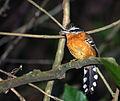 Drymophila ferruginea -Parque Estadual da Serra da Cantareira, Sao Paulo, Brasil-8.jpg