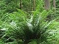 Dryopteris affinis0.jpg