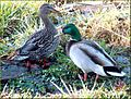 Duck Couple, Yucaipa Reg Park 3-10-13a (8552667248).jpg