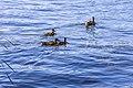 Duck and Ducklings IMG 8443 (44200793331).jpg