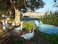 Ducks in Kastoria.jpg