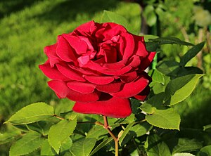 Royal William rose - Image: Duftzauber Th 1984 IMG 6753