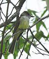 Dusky-capped Flycatcher (18375355279).jpg