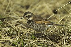 Dusky Thrush - Japan S4E2238 (17048742309).jpg