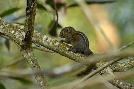 Dusky palm squirrel Funambulus sublineatus from Anaimalai hills JEG1757.jpg