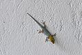 Dwarf Yellow Headed Gecko Zanzibar Ras Michamvi 2.JPG