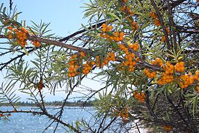 Description de l'image image:E8304-Kosh-Kol-sea-buckthorn.jpg.