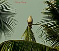 Eagle SITTING (6943946003).jpg