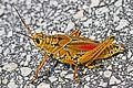 Eastern Lubber Grasshopper - Romalea guttata, Merritt Island National Wildlife Refuge, Titusville, Florida.jpg