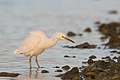 Eastern Reef Egret - white form (27358841227).jpg