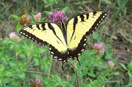 Eastern Tiger Swallowtail (Papilio glaucus).jpg