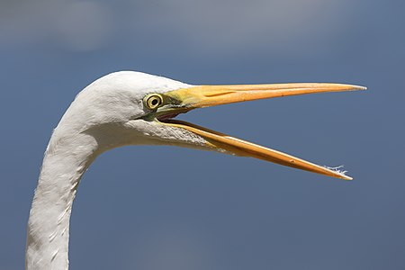 Eastern great egret head with open beak