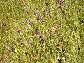 Echium plantagineum.jpg