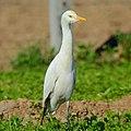 Egret-bird.jpg