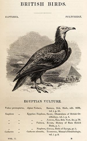 A History of British Birds (1843) - Egyptian vulture, complete with laden camels, pyramid and desert landscape, but also an accurate list of scientific names and authorities