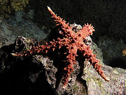 Egyptian sea star.JPG