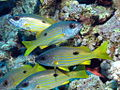 Ehrenberg's Snapper, Lutjanus ehrenbergi at Dangerous Reef, St John's reefs, Red Sea, Egypt -SCUBA (6329681386).jpg
