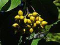 Ehretia dicksonii 20140925.jpg