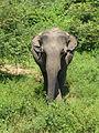 Eléphant-Uda Walawe National Park (2).jpg