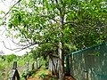 Elaeocarpus ganitrus 09.jpg