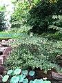 Elaeocarpus hainanensis 01.JPG