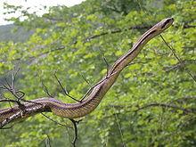 Elaphe quatuorlineata wikipedia for Serpente cervone
