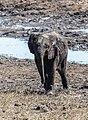 Elefante africano de sabana (Loxodonta africana), parque nacional de Chobe, Botsuana, 2018-07-28, DD 24.jpg