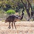 Emu Burke River floodplain Boulia Shire Queensland P1060860.jpg