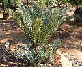 Encephalartos horridus, Waterberg.jpg