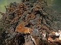 Encroutement algal ou bactérien sur restes de fil de pêche dans la Sèvre niortaise photo F Lamiot 15.jpg