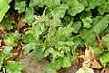 Epilobium roseum (7914520828).jpg
