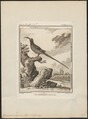 Epimachus maximus - 1700-1880 - Print - Iconographia Zoologica - Special Collections University of Amsterdam - UBA01 IZ16100069.tif