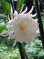 Epiphyllum oxypetalum3.jpg