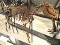 Equus simplicidens, Hagerman, Idaho, USA, Early Pliocene - Royal Ontario Museum - DSC00147.JPG